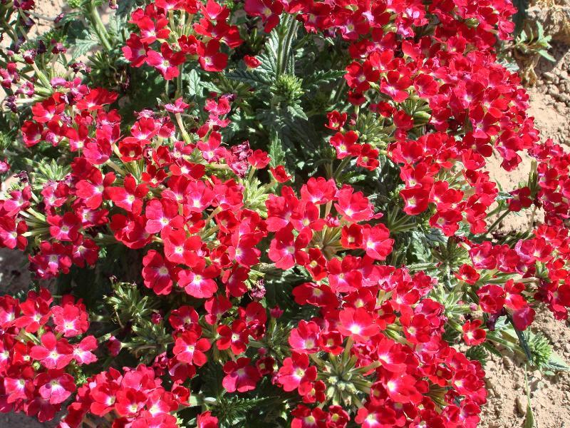 陕西高羊茅种子-大量供应物超所值的草种花种