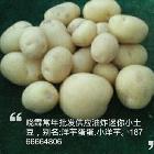 好的神农架小土豆哪里有迷你小土豆批发|买迷你小土豆就来晓霖