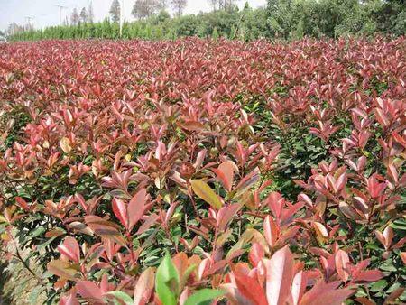 青州红叶小檗批发 金华园艺供应实惠的红叶小檗