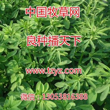 泰安苜蓿除草剂经销供应-玉米草除草剂苜蓿除草剂