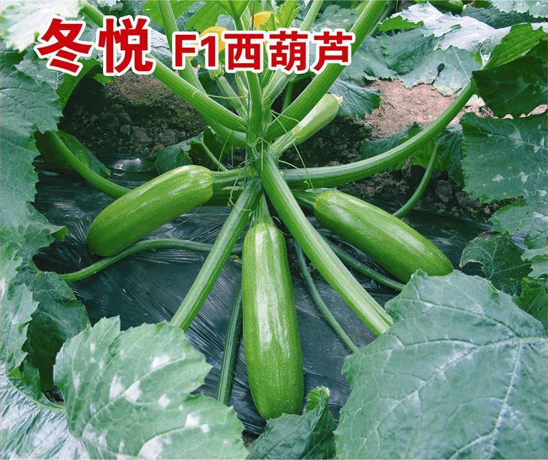 供应冬悦西葫芦苗-高纯度冬悦西葫芦苗优选康美农业