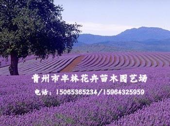 青州薰衣草,靠谱的薰衣草供应商推荐