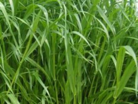 养兔牧草种子有哪些品种?