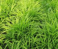 【推荐:】细叶麦冬种植基地//细叶麦冬批发价格