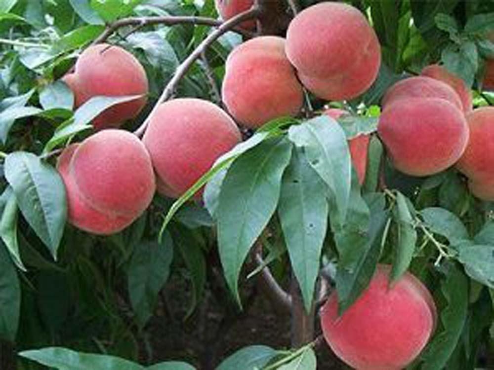 大棚桃树新品种出售-潍坊大棚桃树新品种种植基地