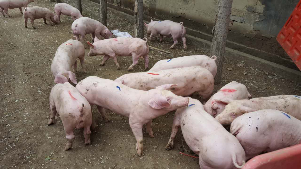 供应潍坊优质的仔猪_仔猪养殖基地