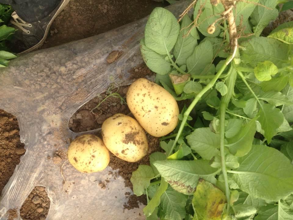 迷你小土豆多少钱一斤,黄心迷你小土豆哪里有,迷你小土豆价格