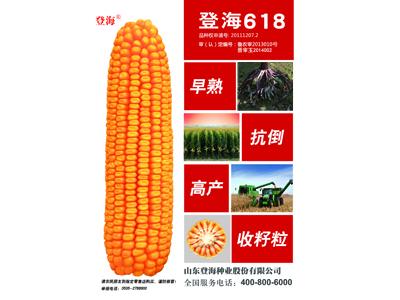 玉米种子生产供应,优质玉米种子哪里买