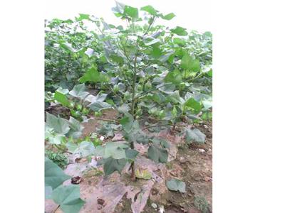 棉花种子批发市场_哪里有棉花种子