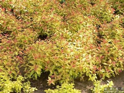 绿化用金焰绣线菊 金焰绣线菊的种植方法 潍坊金焰绣线菊价格