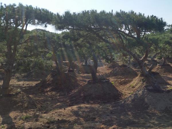 吉林造型黑松-供应山东有品质的造型黑松