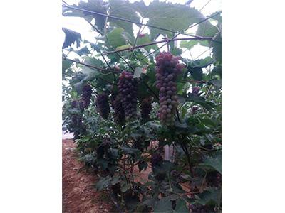 山西有机水果 大连哪里有实惠的有机水果供应