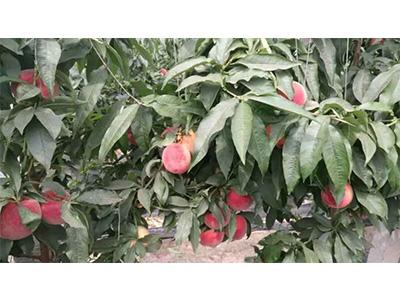 有机水果厂家|大连超值的有机水果批售