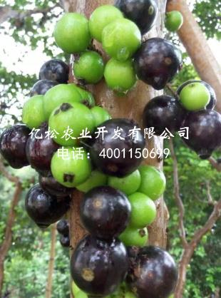 供应福建口碑好的树葡萄种苗,莆田树葡萄