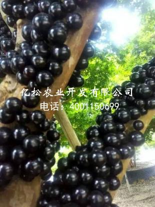 供应福建优良的树葡萄种苗-树葡萄酒