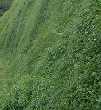 四季青护种子坡结缕草剪股颖种子