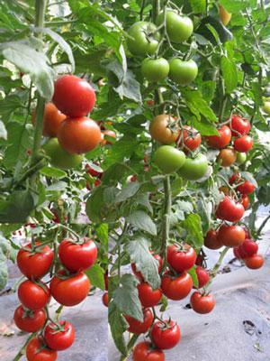 【度娘真是熱心腸,請幫(綠興)上頭條!】番茄種子@綠興