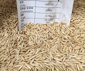 燕麦ESK老麦芒苦荬菜饲用甜高粱种子
