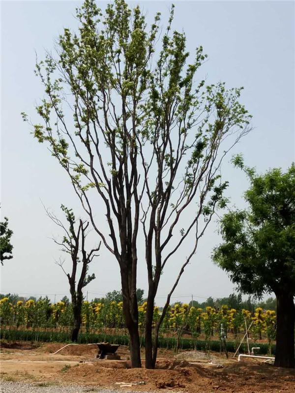 出售大型流苏树 品种好的流苏大树出售