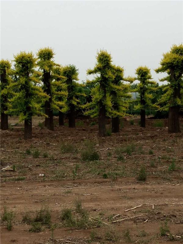 大型榆樹|青州順地苗木專業供應造型榆樹