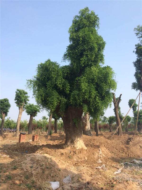 大型皂角树专业供应商_山东皂角树