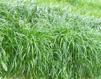 泰安牧草种子时时更新批发价格|济南牧草种子
