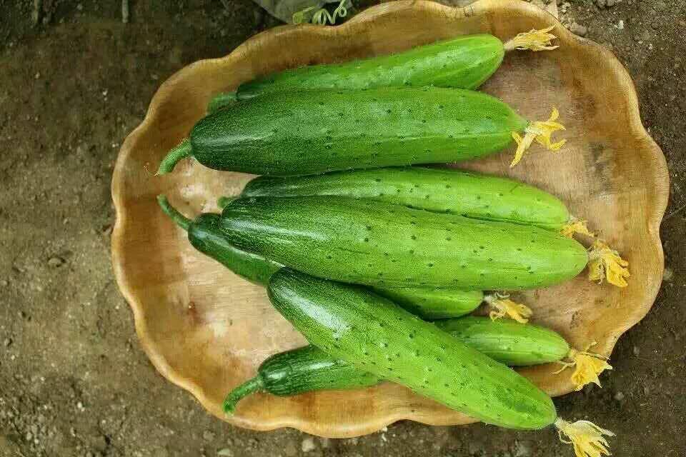蔬菜种子-旱黄瓜种子-越冬旱黄瓜【BEST,商情】-寿光绿兴