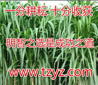 在哪能买到好的巨菌草皇竹草甜象草 13053816388
