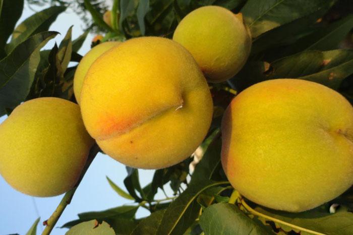 口碑好的黄金桃出售_油蟠桃树苗