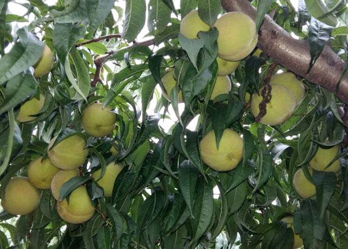 黄金桃树苗-潍坊黄金桃树苗采购