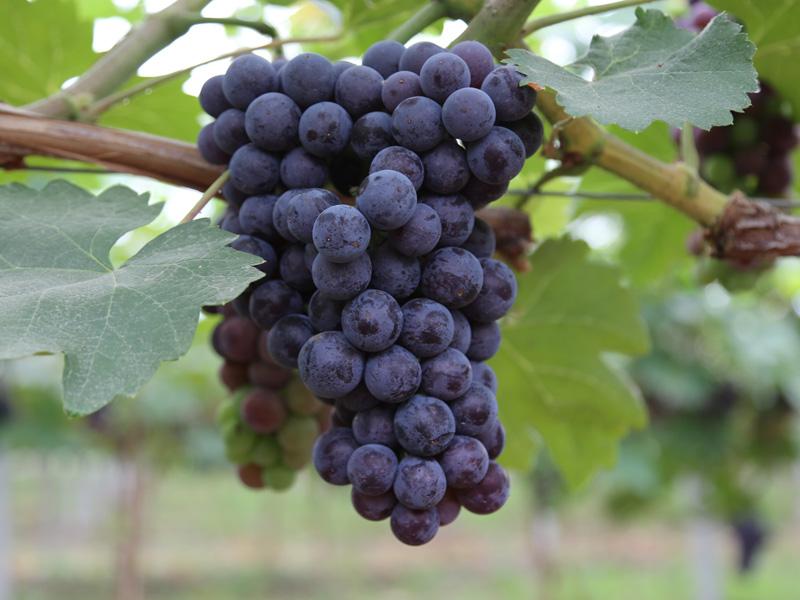 青島近郊游 想買品種好的有機葡萄上哪