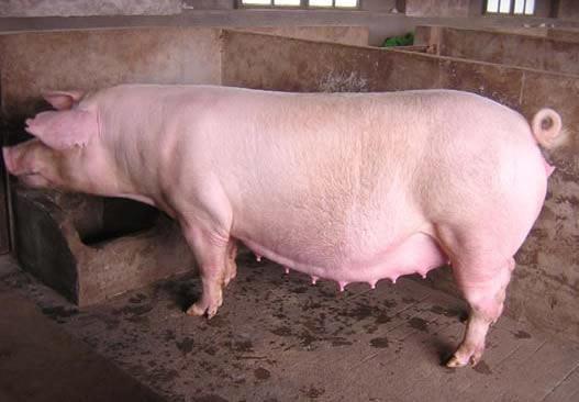 潍坊优质的新美系长白种猪提供商——山东长白种猪养殖