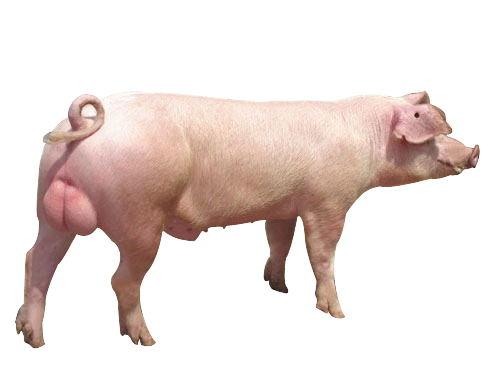 山东大白种猪饲养基地-专业的宝玄—大白种猪市场价格