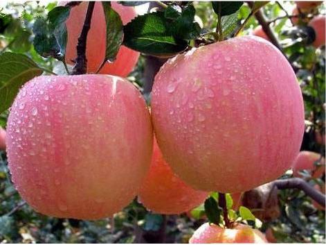 品种好的泰安苹果苗哪里买_烟富一号苹果树苗