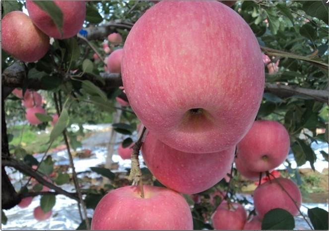 红嘎啦苹果苗哪里有 苹果树苗专业供应商