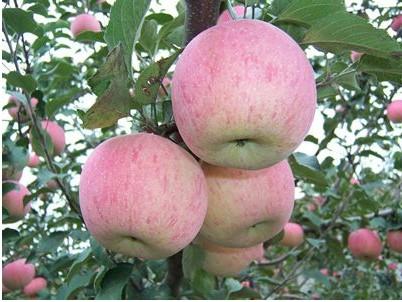 山东苹果小苗_泰安哪里能买到红将军苹果苗