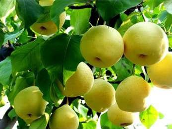 滨州黄金梨树苗,供应品种好的板栗树苗
