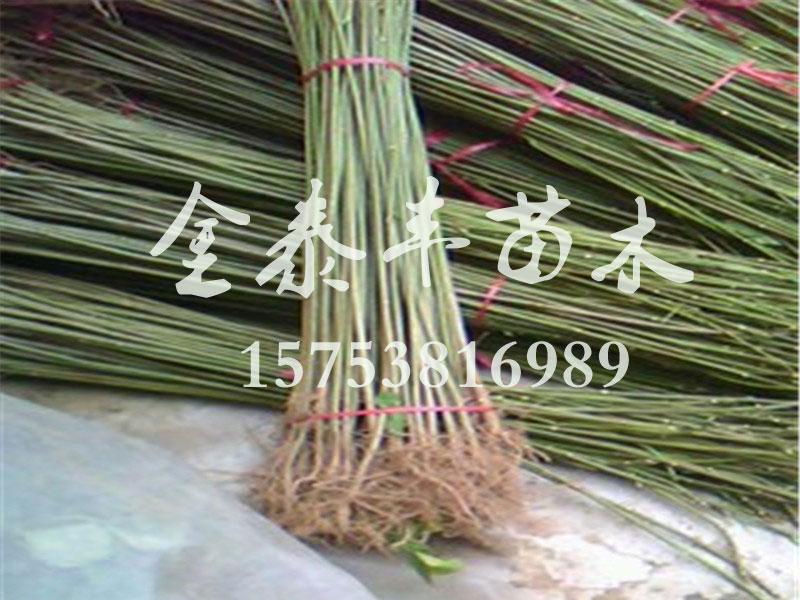 吉林香椿树苗-销量好的香椿树苗出售