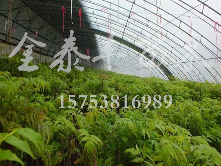 金泰丰苗木_香椿树苗品种优异-北京香椿树苗