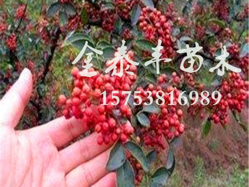想要好的花椒树苗就来金泰丰苗木-花椒苗多少钱