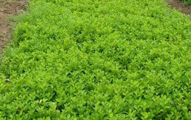 瓜子黄杨种植基地-优惠的瓜子黄杨出售