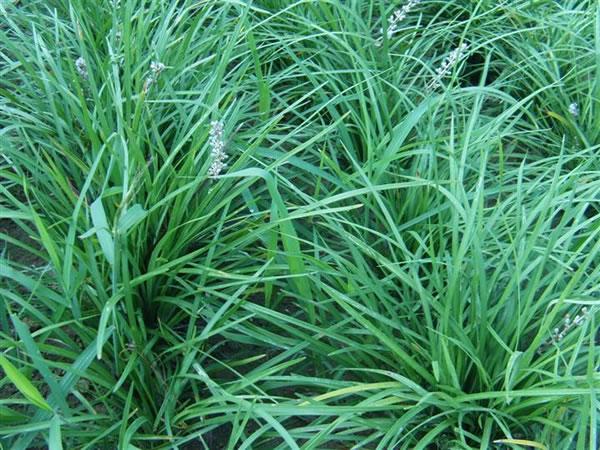 潍坊麦冬哪里有供应——山东麦冬