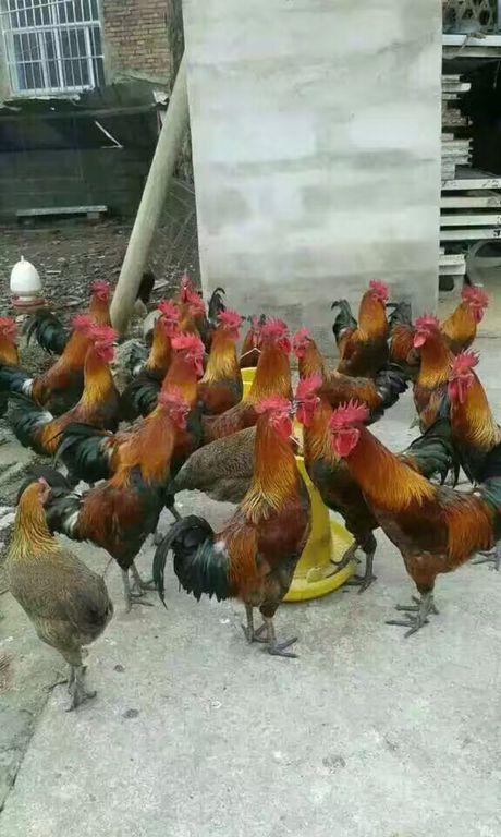云南优良的昆明鹅苗生产基地-云南土鸡