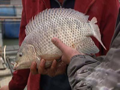 供应长寿罗非鱼-大兴黑棕鹅供应优良的瘦身罗非鱼