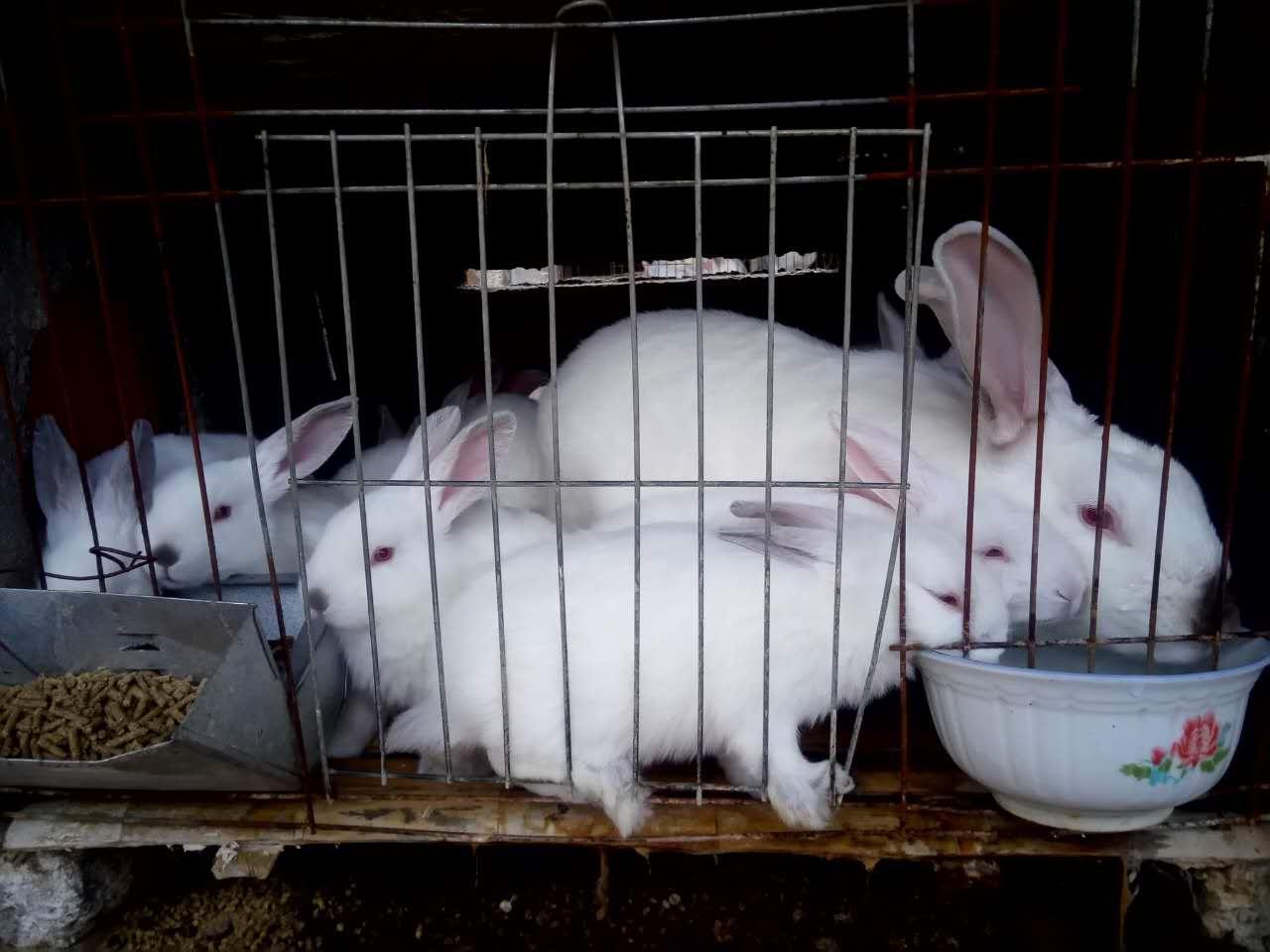 山东獭兔养殖技术培训福地【有多年的獭兔养殖经验】