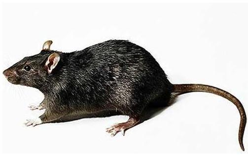 西安餐饮除老鼠妙招-陕西有口碑的除老鼠公司当属卫健环保