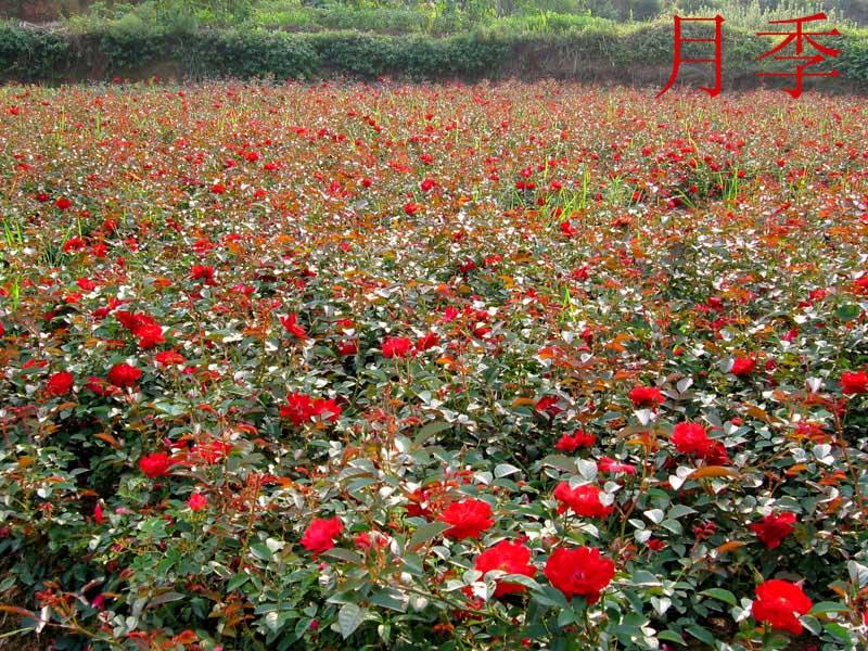 福禄考种植基地|潍坊价格合理的福禄考供应