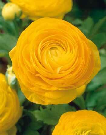 德陽價格實惠的花毛茛種子哪家有 廠家批發花卉種子