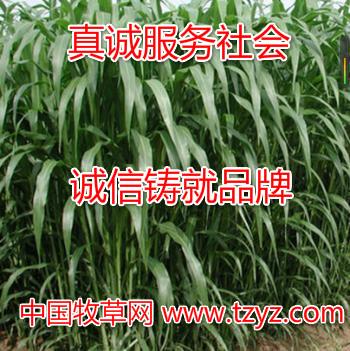 多年生牧草种子价格——山东牧草种子供应商