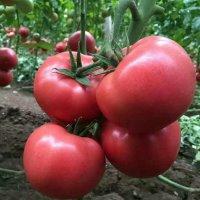 番茄种子-粉果-红果-口感番茄-【一站式采购】-寿光绿兴